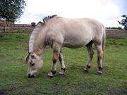 fjording-norwegian-fjord-horse