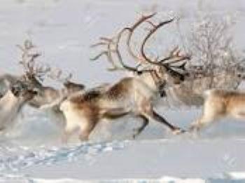 """Reindeer"