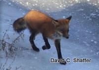 foxy-fox